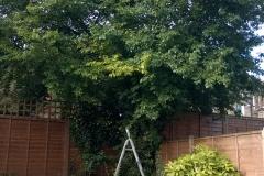 Prunus-domestica-31-Jennings-Road-SE22-210515-before