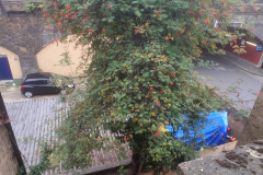 Rowan Tree Before