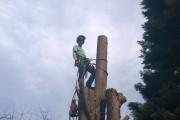 Dismantling a Leylandii