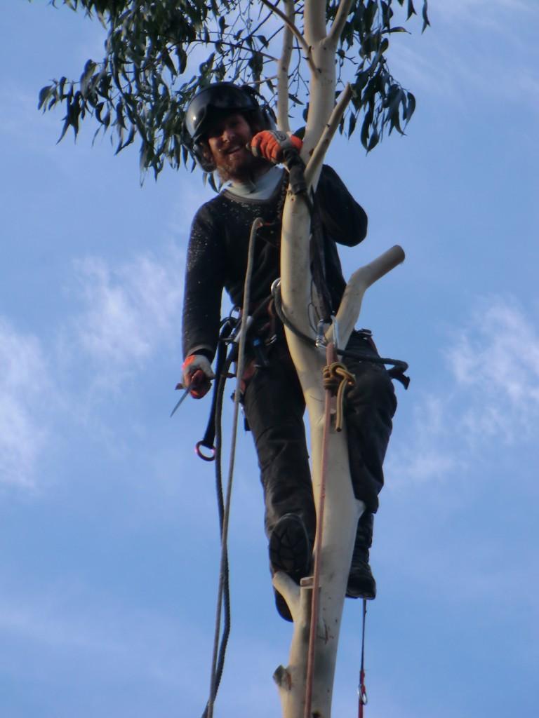 Robert at the top anchor point of a eucalyptus