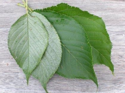Sliver Leaf