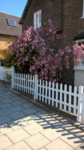 pink blossom on wild cherry sunnyhill road SW16, 270416